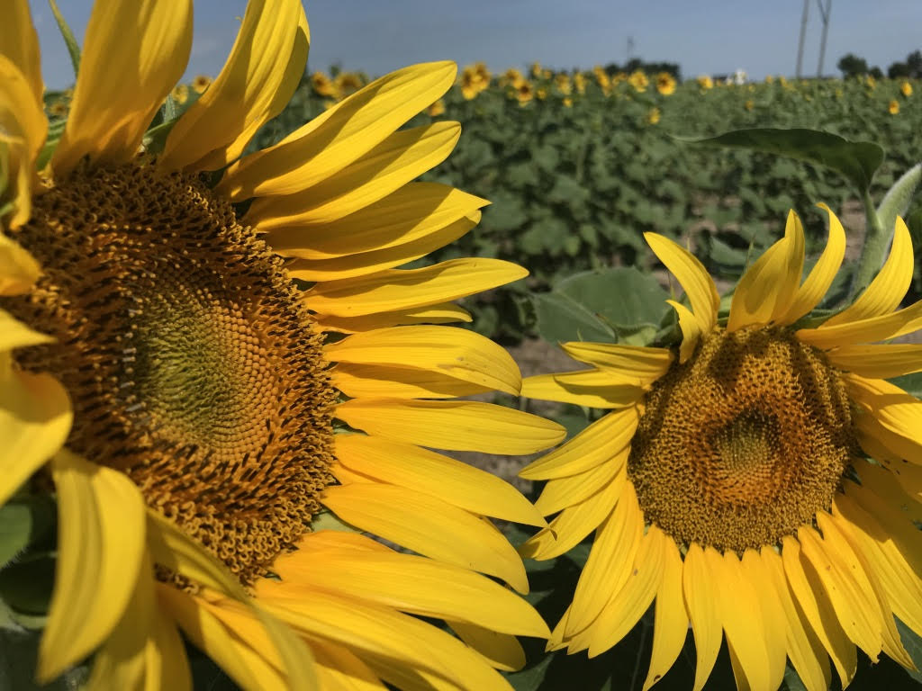 Our Sunflowers Are Helping Fight Hunger!